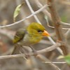 Red-headed Weaver Victoria Falls Safari Lodge  oct 10, 2016     IMG_3412