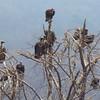White-backed & Hooded Vultures, Victoria Falls Lodge, Zimbabwe, oct 10, 2016 IMG_3586