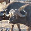 Water buffalo, Kruger NP, oct 6, 2016 IMG_2676