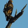 Immature Bateleur, Early morning safari - Kruger NP, oct 6, 2016 IMG_26641
