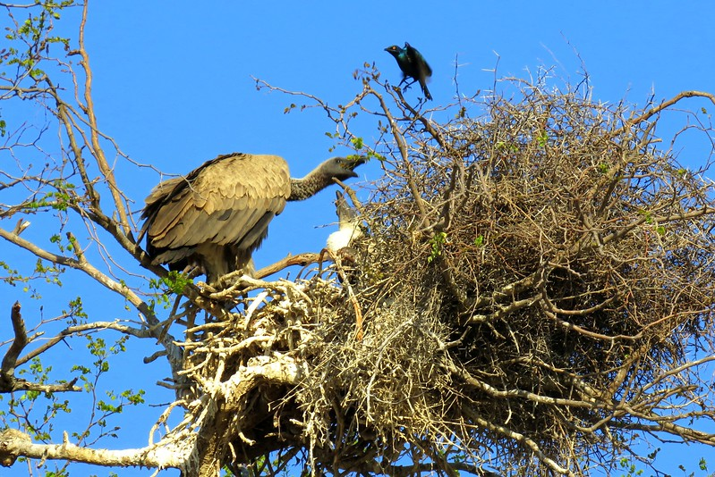 1-White-backed Vulture on nest with young, Cape Starling, Kruger NP, oct 5, 2016 IMG_26061