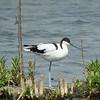 Pied Avocet, Marievale Bird Sanctuary, Johannesburg, SA, oct 8, 2016 IMG_30861