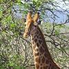 Giraffe, Phongola Game Reserve, SA, oct 4, 2016  IMG_2163