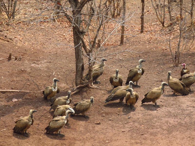 White-backed & Hooded Vultures, Victoria Falls Lodge, Zimbabwe, oct 10, 2016 IMG_3629