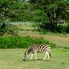Burchell's Zebra, Emdoneni Lodge, SA, oct 4, 2016 IMG_21261