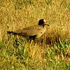 African Wattled Lapwing, Kempton Park near Jo'burg, oct 8, 2016 IMG_30641