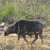 Water buffalo, Kruger NP, oct 6, 2016 IMG_2671