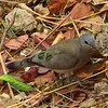 1-Emerald-spotted Wood-Dove  Victoria Falls Safari Lodge  oct 10, 2016 IMG_3578