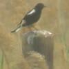 Mountain Wheatear, male, Marievale Bird Sanctuary, oct 8, 2016 IMG_31271