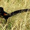 Long-tailed Widowbird, Marievale Bird Sanctuary, Johannesburg, SA, oct 8, 2016 IMG_312411