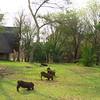 Warthogs, grazing on the lawn, Victoria Falls Lodge, Zimbabwe, oct 10, 2016 IMG_3647