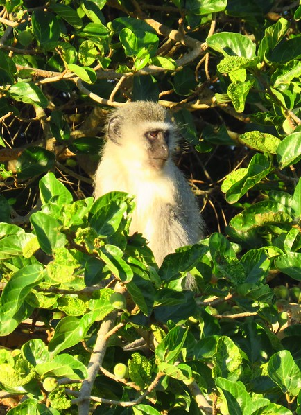 Velvet Monkey, Emdoneni Lodge, Kwazulu-Natal, South Africa, morning, oct 4, 2016 IMG_2093