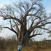 The Big Tree, Baobab, near Victoria Falls, Zimbabwe, oct 10, 2016 IMG_34581
