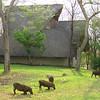 Warthogs, grazing on the lawn, Victoria Falls Lodge, Zimbabwe, oct 10, 2016 IMG_3648