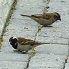 44 Cape Sparrows, V&A Waterfront, Cape Town, sep 29, 2016 IMG_09591