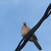 48 Laughing Dove, Cape Town, sep 29, 2016 IMG_1042