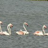 Greater Flamingos, Pied Avocet, , Marievale Bird Sanctuary, Johannesburg, SA, oct 8, 2016 IMG_31671