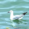 43 Hartlaub's Gull, V&A Waterfront, Cape Town, sep 29, 2016 IMG_09551