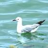 43 Hartlaub's Gull, V&A Waterfront, Cape Town, sep 29, 2016 IMG_09551