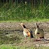 Egypian Geese,  early morning safari, waterhole - Kruger NP, oct 6, 2016 IMG_2690