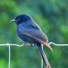 Fork-tailed Drongo, oct 4, 2016 IMG_21162