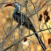 1-Southern Red-billed Hornbill, Victoria Falls Safari Lodge, oct 12, 2016 IMG_408311