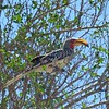 Southern Yellow-billed Hornbill, Kruger NP, oct 5, 2016  Img_2496