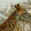 Giraffe, afternoon safari, Sabie River - Kruger NP, oct 6, 2016 IMG_28221