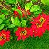 23 Pointsetta bush,VOC Gardens, Cape Town, sep 29, 2016 IMG_09191