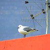 30 Hartlaub's Gull, Bo Kaap, the moslem quarter, Cape Town, sep 29, 2016 IMG_09311