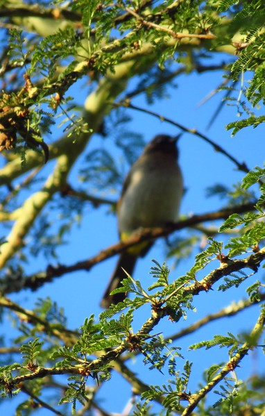 1a-Red-eyed Bulbul, Lugano Sun Hotel, Swaziland, oct 4, 2016 IMG_2337