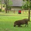Warthogs, grazing on the lawn, Victoria Falls Lodge, Zimbabwe, oct 10, 2016 IMG_3651