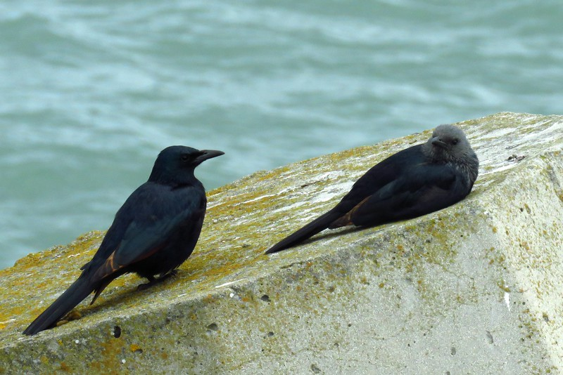 42 Redwinged Starlings, male & female, V&A Waterfront, Cape Town, sep 29, 2016 IMG_09531