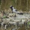 Blacksmith Lapwing, Cape Shoveler, Marievale Bird Sanctuary, Johannesburg, SA, oct 8, 2016 IMG_3169