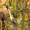 White-backed Vulture, Victoria Falls Safari Lodge, oct 10, 2016IMG_36311