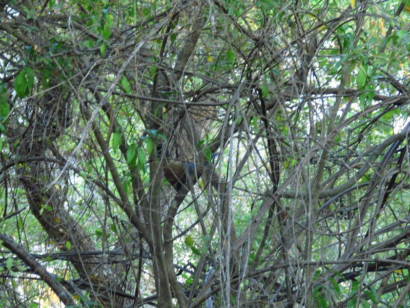 Purple-crested Tutacao, Protea Hotel, Kruger NP, SA, oct 5, 2016 IMG_2627