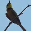 1-Little Bee-eater, Chobe National Park, Botswana, oct 11, 2016 IMG_39261