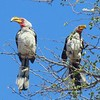 1-Southern Yellow-billed Hornbills, Kruger NP, oct 5, 2016  IMG_25211