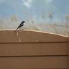 Common Fiscal, Marievale Bird Sanctuary, Johannesburg, SA, oct 8, 2016 IMG_3141