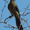 1-Red-billed Oxpecker, Kruger NP, oct 5, 2016 IMG_25881