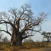 The Big Tree, Baobab, near Victoria Falls, Zimbabwe, oct 10, 2016 IMG_34601