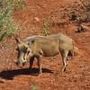Warthog, Phongola Game Reserve, SA, oct 4, 2016  IMG_2170