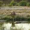 Elephant, Sabie River, Kruger NP, oct 6, 2016 IMG_2819