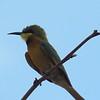1-Little Bee-eater, Chobe National Park, Botswana, oct 11, 2016 IMG_39251