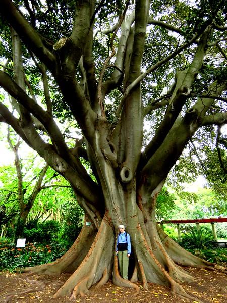 15 Jan, giant banyon tree, VOC gardens, Cape Town, sep 29, 2016  IMG_08961