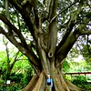 15 Jan, giant banyon tree, VOC gardens, Cape Town, sep 29, 2016  IMG_08961