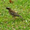 1-White-browed Sparrow-Weaver Victoria Falls Safari Lodge  oct 10, 2016 IMG_3420