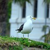 47  Kelp Gull, Castle of Good Hope, Cape Town, sep 29, 2016 IMG_08761