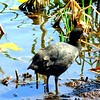 Red-knobbed Coot, Marievale Bird Sanctuary, oct 8, 2016 IMG_30761