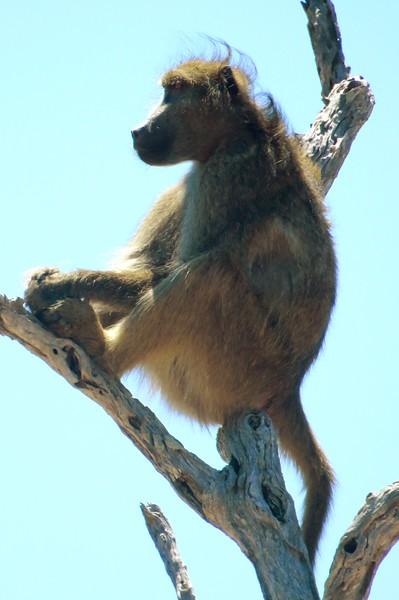 Baboon, Kruger NP, SA, oct 5, 2016 IMG_25122